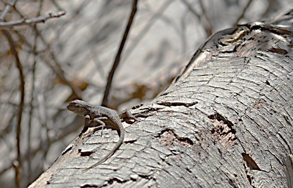 Eaton-canyon-lizard-1024x658