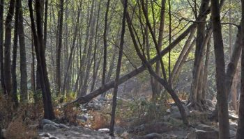 Eaton-canyon-trail-trees-681x1024