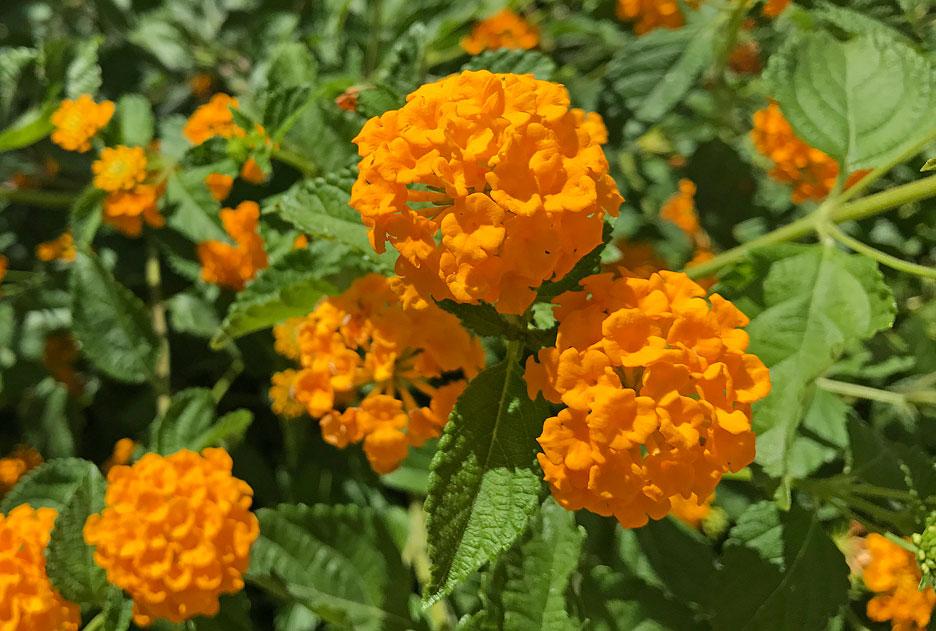 coachelle-orange-flower