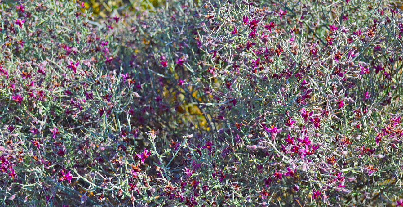 desert-purple-bush