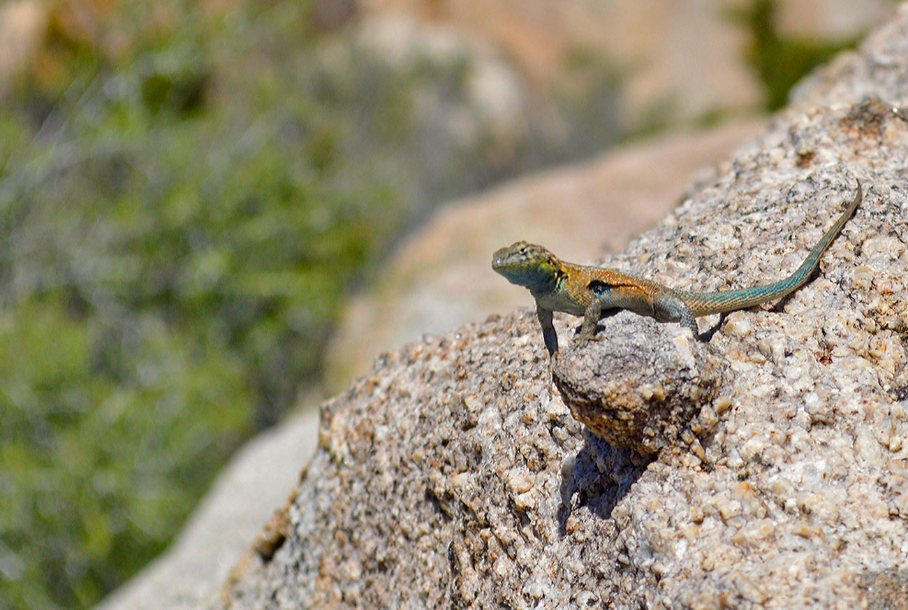 fence-lizard-desert