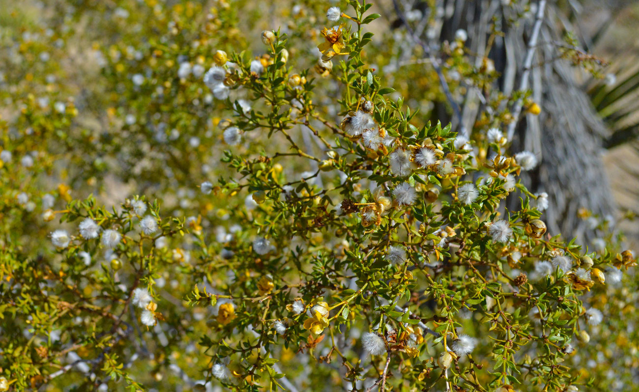 fuzzy-desert-bush