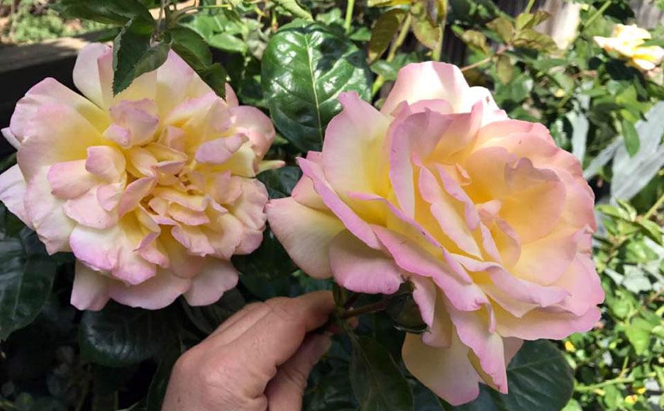 garden-rose-3