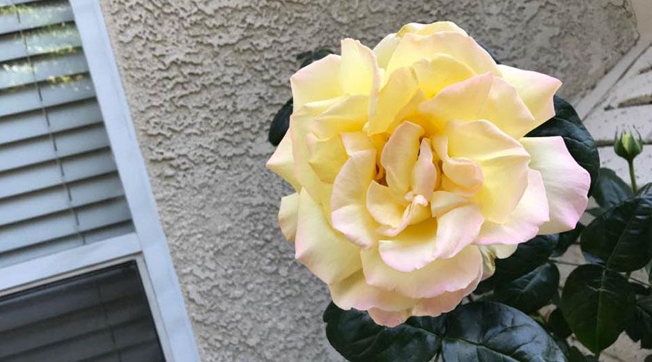 garden-rose1