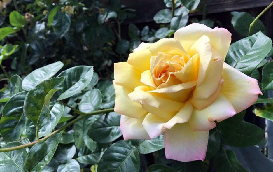 garden-rose2
