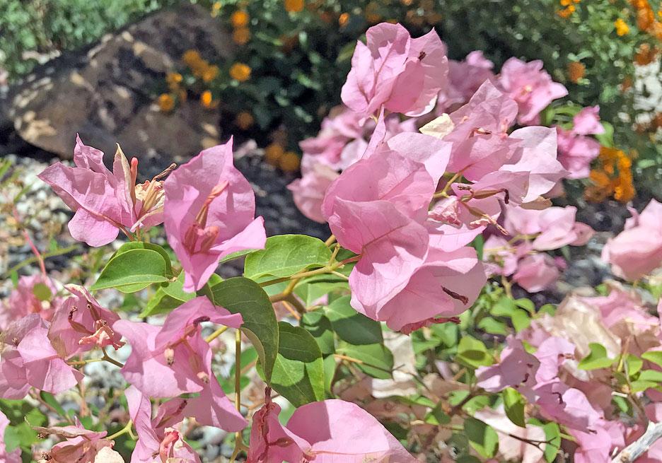 pink-spring-flowers