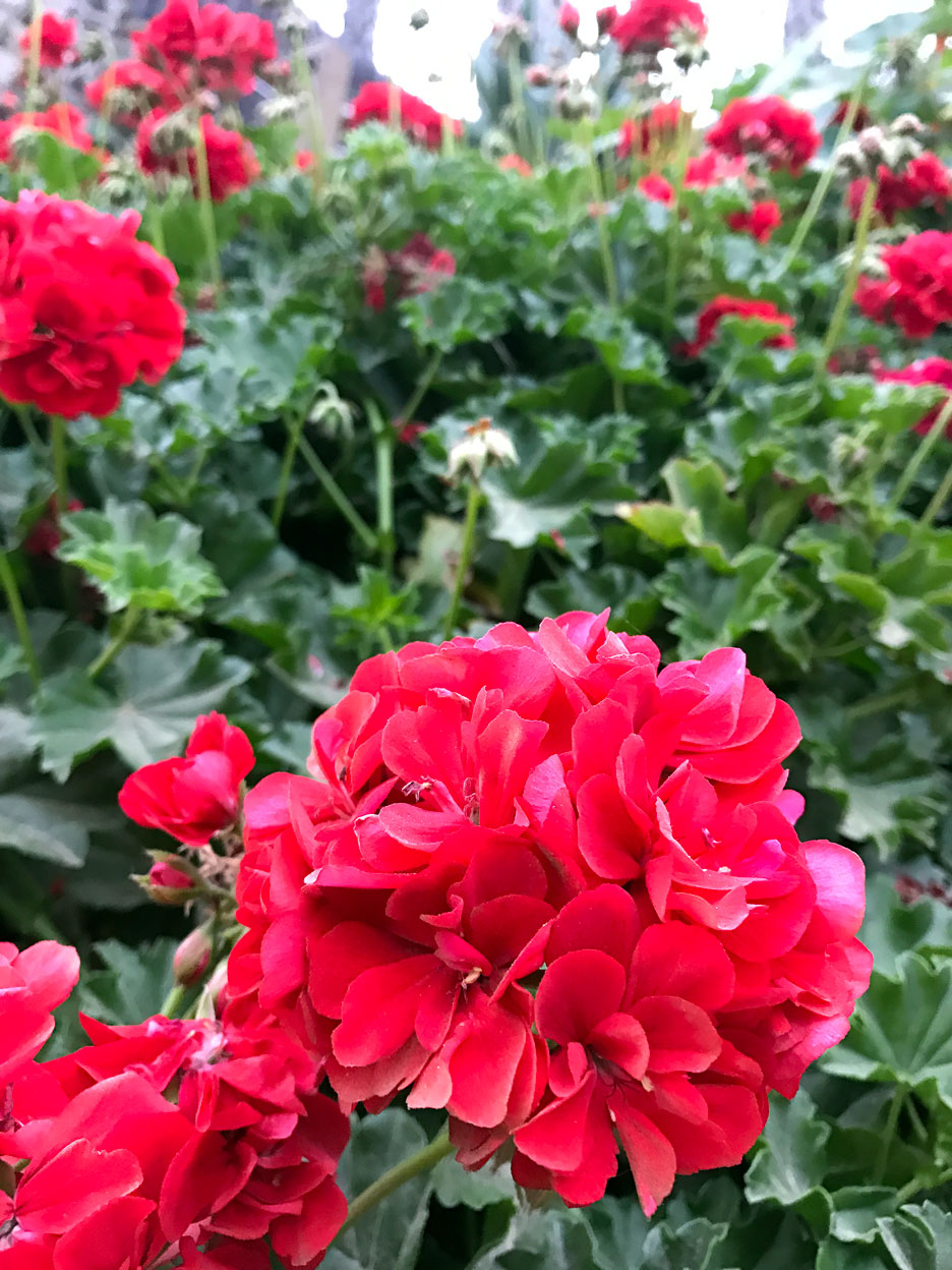 red-flowers (1)
