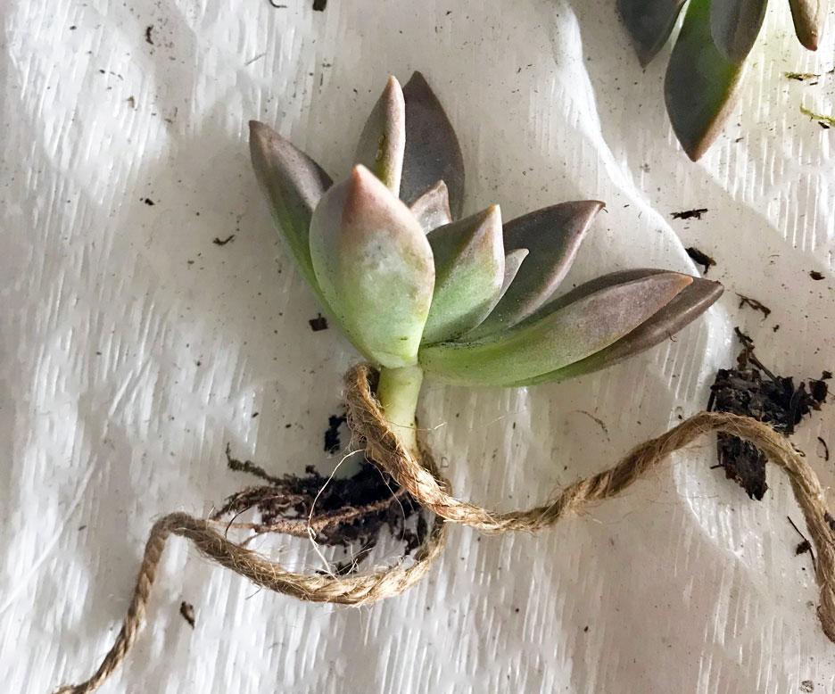 succulent-craft