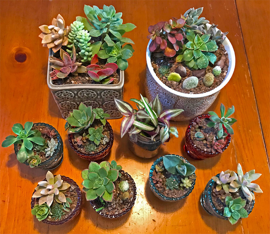 succulents-for-gifts